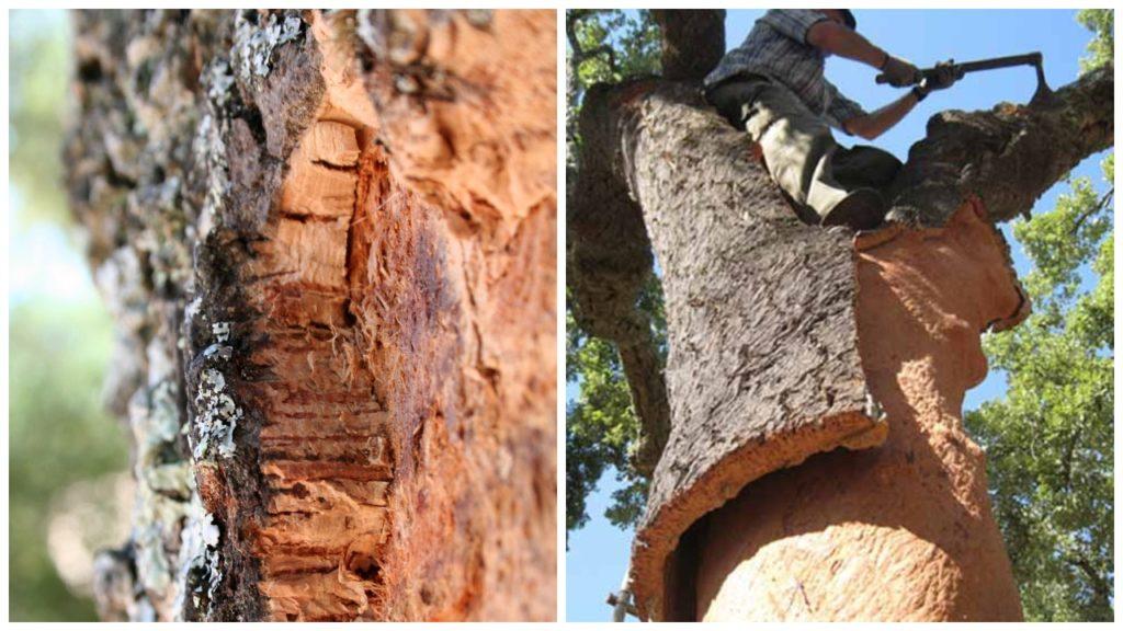 Сбор сырья пробкового дерева